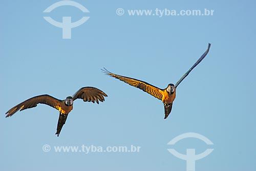 Assunto: Arara-de-barriga-amarela (Ara ararauna) também conhecida como Arara Canindé  / Local: Costa Rica - Mato Grosso do Sul (MS) - Brasil  / Data: 15/06/2006