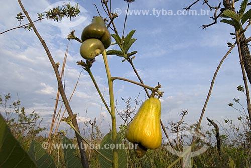 Assunto: Cajuí (Anacardium humile) também conhecido como caju-do-cerrado no Parque Nacional das Emas  / Local: Goiás (GO) - Brasil  / Data: 16/09/2007
