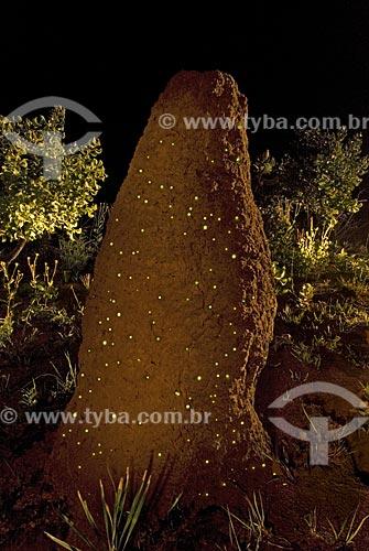 Cupinzeiro com bioluminescência - larvas do vaga-lume Pyrearinus termitilluminans - em noites úmidas, mornas, sem vento e sem lua, as larvas aparecem do lado de fora dos túneis,