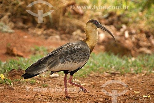 Assunto: Curicaca (Theristicus caudatus) no Parque Nacional das Emas  / Local: Goiás (GO) - Brasil  / Data: 06/09/2007