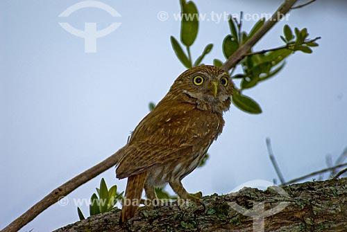 Assunto: Coruja caboré (Glaucidium brasilianum) no Parque Nacional das Emas  / Local: Goiás (GO) - Brasil  / Data: 12/09/2007