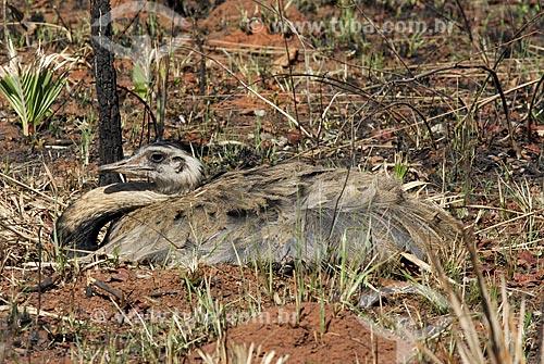 Assunto: Ema fêmea (Rhea americana) pondo ovos em ninho localizado numa área queimada em recuperação no interior do Parque Nacional das Emas  / Local: Goiás (GO) - Brasil  / Data: 31/08/2006