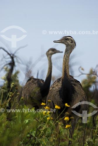 Assunto: Ema fêmea (Rhea americana) em campo sujo no Parque Nacional das Emas  / Local: Goiás (GO) - Brasil  / Data: 07/09/2007