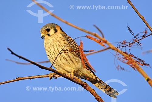 Assunto: Falcão americano ou quiriquiri (Falco sparverius) no Parque Nacional das Emas  / Local: Mato Grosso do Sul (MS) - Brasil  / Data: 22/06/2006
