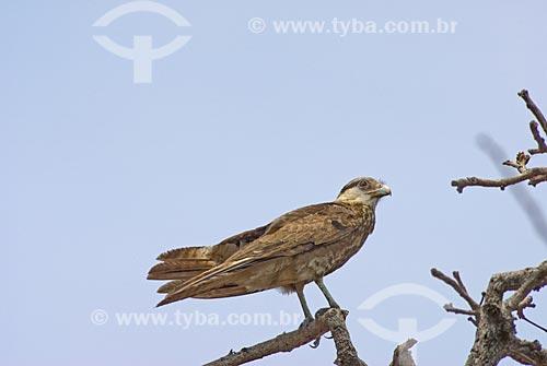 Assunto: Gavião Carijó (Rupornis magnirostris)  / Local: Parque Nacional das Emas - Goiás (GO) - Brasil  / Data: 12/09/2007