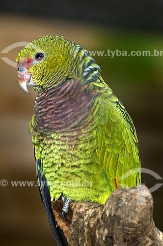 Assunto: Papagaio-de-peito-roxo (Amazona vinacea) é uma espécie que ocorre do Sul da Bahia ao Rio Grande do Sul - grande perigo de extinção  / Local: Brasil  / Data: 07/06/2009
