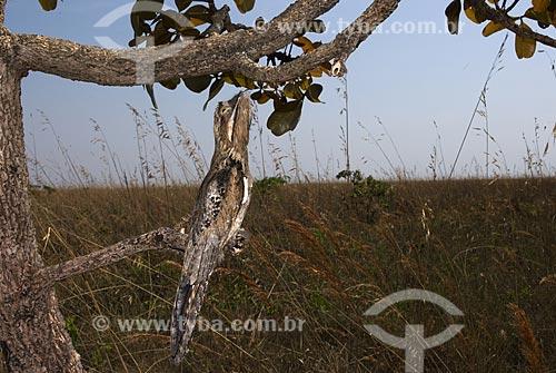 Assunto: Mãe-da-lua ou  Urutau (Nyctibius griseus) no Parque Nacional das Emas  / Local: Goiás (GO) Brasil  / Data: 11/09/2007