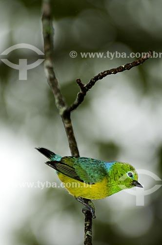 Assunto: Bandeirinha (Chlorophonia cyanea) no Parque Nacional do Itatiaia  / Local:  Itatiaia - RJ - Brasil  / Data: 16/12/2008