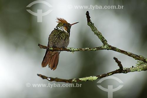 Assunto: Beija-flor Topetinho vermelho (Lophornis magnificus) no Parque Nacional do Itatiaia  / Local:  Itatiaia - RJ - Brasil  / Data: 16/12/2008