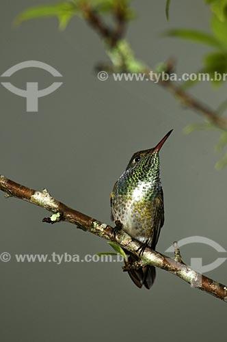 Assunto: Beija-flor-de-fronte-violeta (Thalurania glaucopis) também conhecido como Beija-flor-tesoura-de-fronte-violeta no Parque Nacional do Itatiaia  / Local:  Itatiaia - RJ - Brasil  / Data: 26/01/2009