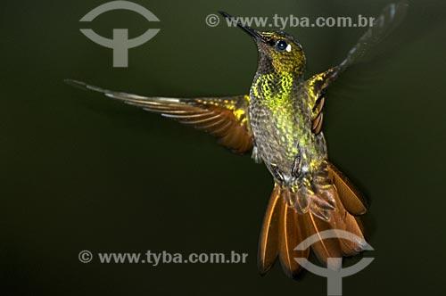 Assunto: Beija-flor-de-garganta-rubi ou Beija-flor-rubi (Clytolaema rubricauda) no Parque Nacional do Itatiaia  / Local:  Itatiaia - RJ - Brasil  / Data: 14/12/2008