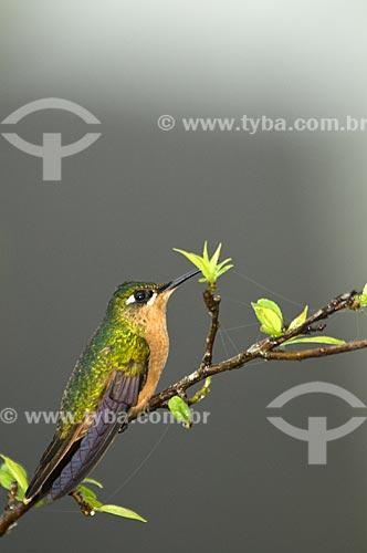 Assunto: Beija-flor-de-garganta-rubi ou Beija-flor-rubi fêmea (Clytolaema rubricauda) no Parque Nacional do Itatiaia  / Local:  Itatiaia - RJ - Brasil  / Data: 14/12/2008