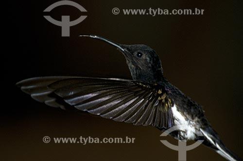 Assunto: Beija-flor-preto-e-branco ou Beija-flor-preto (Florisuga fusca) no Parque Nacional do Itatiaia  / Local:  Itatiaia - RJ - Brasil  / Data: 14/12/2008