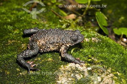 Assunto: Sapo Flamenguinho ou Sapinho Flamengo (Melanophryniscus moreirae) também conhecido como Sapinho-de-Barriga-Vermelha no Parque Nacional do Itatiaia  / Local:  Itatiaia - RJ - Brasil  / Data: 24/01/2009