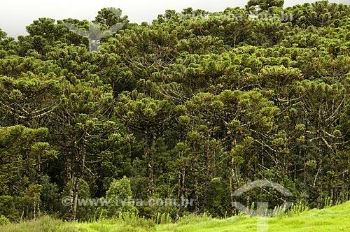 Assunto: Floresta de Araucárias no Parque Nacional de Itatiaia  / Local:  Itatiaia - RJ - Brasil  / Data: 25/01/2009