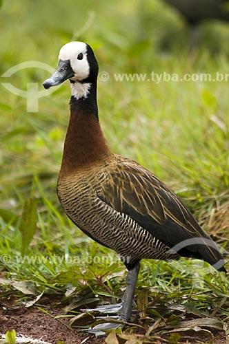 Assunto: Irerê (Dendrocygna viduata) também conhecido por paturi, siriri, marreca-piadeira no Refúgio Biológico Bela Vista  / Local:  Foz do Iguaçu - PR - Brasil  / Data: 08/06/2009