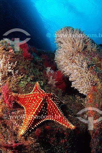 Assunto: Estrela-do-mar, Oreaster reticulatus, em Angra dos Reis / Local: Ilha Queimada Pequena, Baía da Ilha Grande, Angra dos Reis, Rio de Janeiro (RJ), Brasil / Data: 04/06/2010