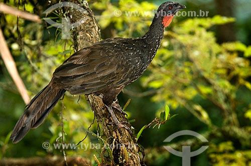 Assunto: Assunto:Jacuguaçu (Penelope obscura) no Parque Nacional do Itatiaia  / Local:  Itatiaia - Rio de Janeiro - RJ - Brasil  / Data: 12/2008