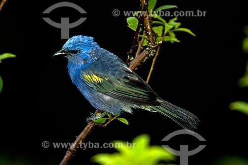Assunto: Sanhaçú-de-encontro-amarelo (Thraupis ornata) no Parque Nacional do Itatiaia  / Local:  Itatiaia - Rio de Janeiro - RJ - Brasil  / Data: 01/2009