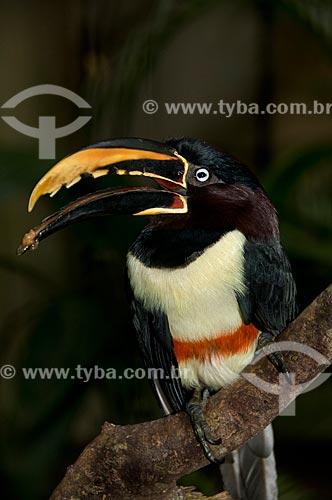 Assunto: Araçari-castanho (Pteroglossus castanotis) no Parque das Aves  / Local:  Foz do Iguaçu - Paraná - PR - Brasil  / Data: 06/2009