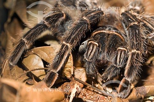 Assunto: Aranha caranguejeira (Lasiodora sp.), no Parque Nacional do Iguaçu  / Local:  Foz do Iguaçu - Paraná - PR - Brasil  / Data: 06/2009