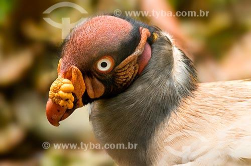 Assunto: Urubu-rei (Sarcoramphus papa.), no Parque das Aves  / Local:  Foz do Iguaçu - Paraná - PR - Brasil  / Data: 06/2009