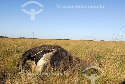 Assunto: Tamanduá Bandeira (Myrmecophaga tridactyla) no Cerrado - Campo úmido  / Local:  Município de Costa Rica - Mato Grosso do Sul - Brasil  / Data: 06/2006