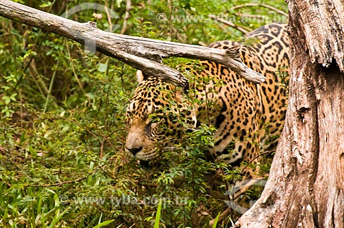 Assunto: Onça Pintada (Panthera onca) no Refúgio Biológico Bela Vista / Local: Foz do Iguaçu - Paraná (PR) - Brasil  / Data: 06/2009