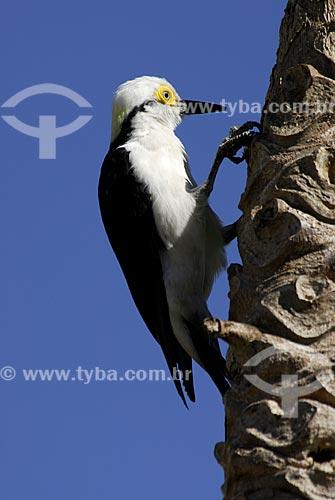 Assunto: Pica-pau Branco (Melanerpes candidus) no Parque Nacional das Emas  / Local:  Goiás - Brasil  / Data: 07/2006