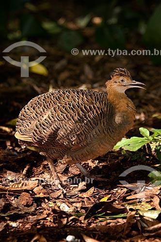 Assunto: Perdiz ou perdigão (Rhynchotus rufescens) no Parque das Aves  / Local:  Foz do Iguaçu - Paraná - PR - Brasil  / Data: 06/2009