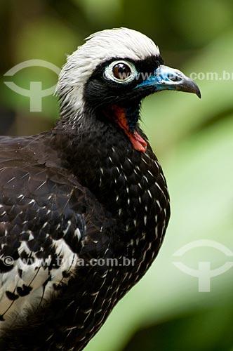 Assunto: Jacutinga (Pipile jacutinga) no Parque das Aves  / Local:  Foz do Iguaçu - Paraná - PR - Brasil  / Data: 06/2009