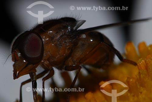Assunto: mosca (ordem diptera, sub-ordem Brachycera) / Local: São Pedro da Serra - Nova Friburgo (RJ) - Brasil / Data: 23/11/2006