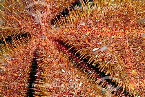 Assunto: ouriço-do-mar / Local: Ilha do Papagaio - Cabo Frio - Rio de Janeiro (RJ) - Brasil / Data: 13/12/2007