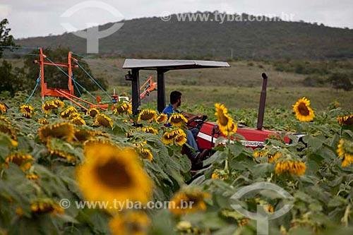 Assunto: Plantação de Girassol com trator agrícola. Cleverton Bispo dos Santos, contrato de autorização de uso de imagem n° 03.  / Local:  Poço Redondo - Sertão de Sergipe (SE) - Brasil  / Data: 07/2010