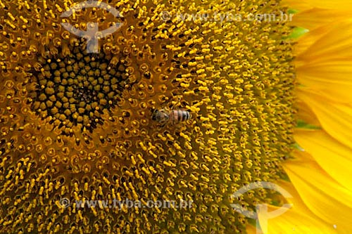 Assunto: Girassol  / Local:  Poço Redondo - Sertão de Sergipe (SE) - Brasil  / Data: 07/2010