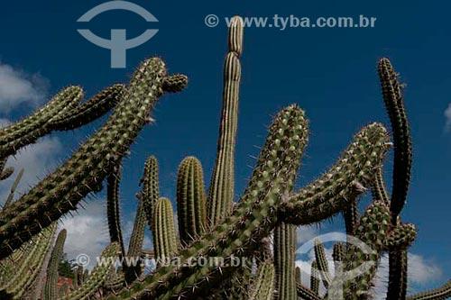 Assunto: Cacto - Cactus  / Local:  Xingó - Alto Sertão de Sergipe (SE) - Brasil  / Data: 07/2010