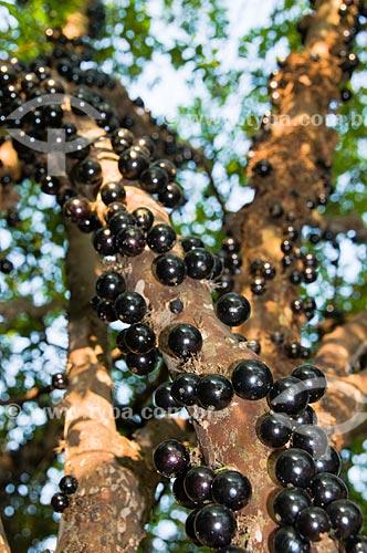 Assunto: Jabuticabeira coberta de jabuticabas maduras / Local: Rio Claro - São Paulo - SP - Brasil / Data: 09/2010