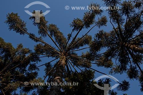Assunto: Araucária no Parque do Caracol  / Local:  Canela - Rio Grande do Sul  / Data:  09/2010