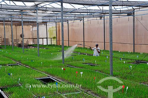 Assunto: Mudas de cana-de-açúcar genéticamente modificadas  / Local:  Conchal - São Paulo - SP  / Data: 11/2008