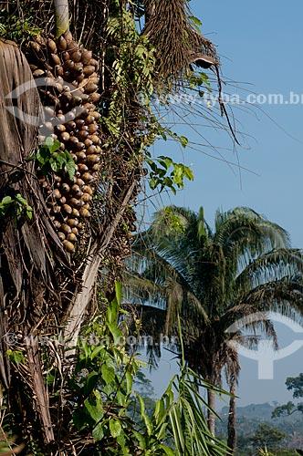 Assunto: Detalhe do fruto do babaçu - Área de Proteção Ambiental (APA) do Igarapé do Gelado  / Local:  próximo à cidade de Parauapebas - Pará  - Brasil  / Data: 10/2010