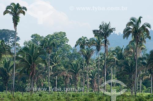 Assunto: Babaçus em paisagem típica da Área de Proteção Ambiental (APA) do Igarapé do Gelado  / Local:  próximo à cidade de Parauapebas - Pará  - Brasil  / Data: 30/10/2010