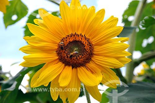 Assunto: Cultivo de Girassol (Helianthus annuus) na Região Serrana Fluminense - Detalhe de abelhas  / Local:  Teresópolis - Rio de Janeiro - RJ  / Data: 01/2011
