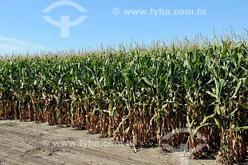 Assunto: Campo de testes de sementes geneticamente modificados em Jerseyville  / Local:  Jerseyville - Illinois - Estados Unidos da América - EUA  / Data: 08/2009