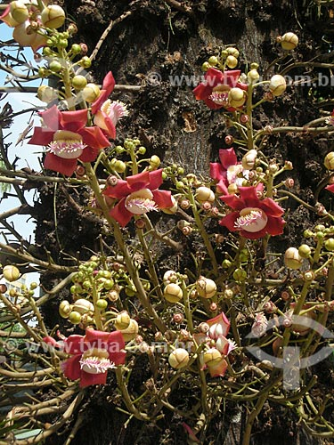 Assunto: Flores de abricó-de-macaco (Couroupita guianensis)  / Local:  Largo do Machado - Rio de Janeiro - RJ - Brasil  / Data: 2007