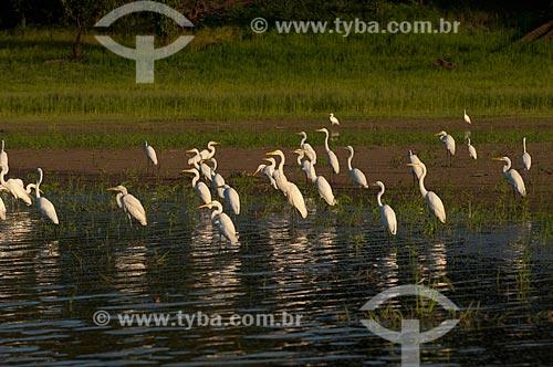 Assunto: Garças-brancas-grandes (Egretta alba) na beira do lago Mamirauá - Reserva de Desenvolvimento Sustentável Mamirauá  / Local:  Amazonas - AM - Brasil  / Data: 2007