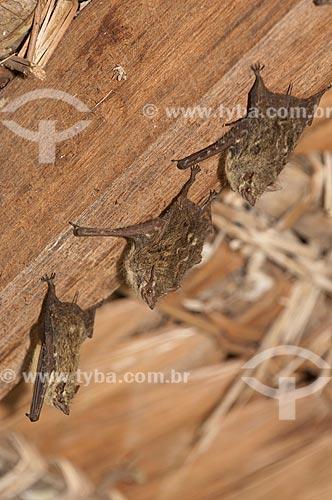 Assunto: Morcegos (Rhynchonycteris naso) descansando no telhado dos lodges da Pousada Uacari, no lago Mamirauá  / Local:  Reserva de Desenvolvimento Sustentável Mamirauá - Amazonas - AM - Brasil  / Data: 2007