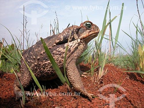 Assunto: Sapo Cururu (Bufo sp.) no Parque Nacional das Emas  / Local:  Goiás - GO - Brasil  / Data: 2003