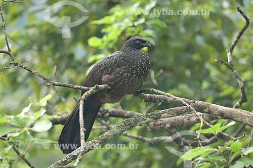 Assunto: Jacuguaçu (Penelope obscura bronzina) na mata atlântica do Parque Nacional do Itatiaia  / Local:  Rio de Janeiro - RJ - Brasil  / Data: 2008