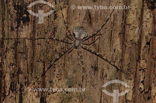 Assunto: Opilião (aracnídeo) num tronco de árvore da Floresta Amazônica de várzea da beira do lago Mamirauá  / Local:  Amazonas - AM - Brasil  / Data: 2007
