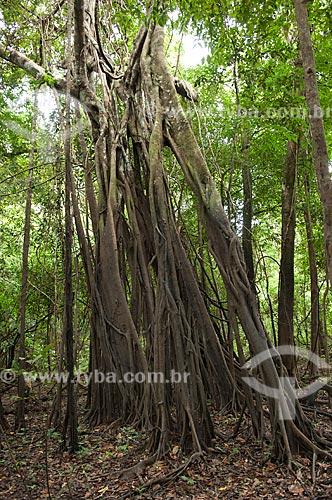 Assunto: Apuizeiro ou figueira (Ficus sp.) na floresta amazônica de várzea, na beira do lago Mamirauá  / Local:  Reserva de Desenvolvimento Sustentável Mamirauá - Amazonas - AM - Brasil  / Data: 2007